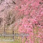 京都 枝垂れ桜な飛日常 【パン・お菓子・料理教室 開業・集客講座|横浜東京】